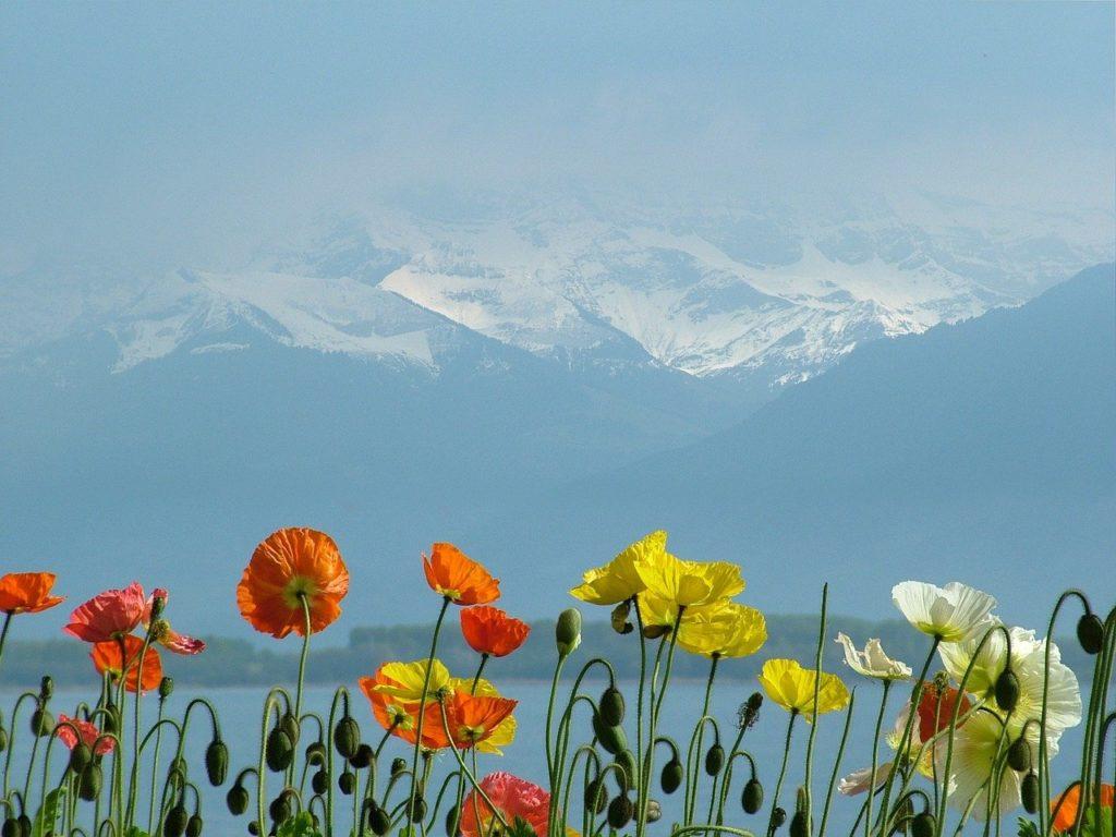 switzerland, lake geneva, poppies