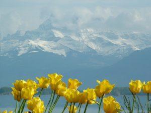 tulips, montblanc, lake geneva